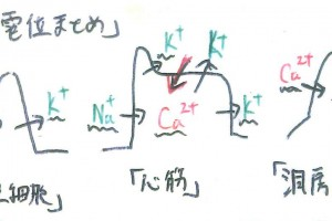 活動電位イオンの移動まとめ